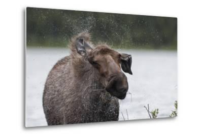 Portrait of a Female Moose, Alces Alces, Shaking Water from Her Coat-Peter Mather-Metal Print