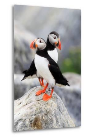 A Pair of Atlantic Puffins, Fratercula Arctica, Resting on a Rock Near their Nest-Robbie George-Metal Print