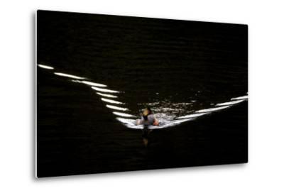 Water Ripples Behind an Eared Grebe, Podiceps Nigricollis, Swimming in Calm Water-Robbie George-Metal Print