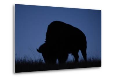 A Silhouetted American Bison, Bison Bison, Grazing at Twilight-Michael Forsberg-Metal Print