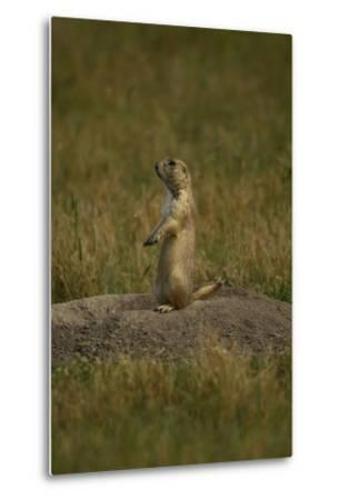 A Black-Tailed Prairie Dog, Cynomys Ludovicianus, at the Entrance to its Burrow-Michael Forsberg-Metal Print