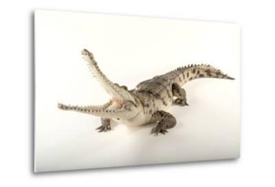 An Australian Freshwater Crocodile, Crocodylus Johnsoni, at the Omaha Henry Doorly Zoo-Joel Sartore-Metal Print