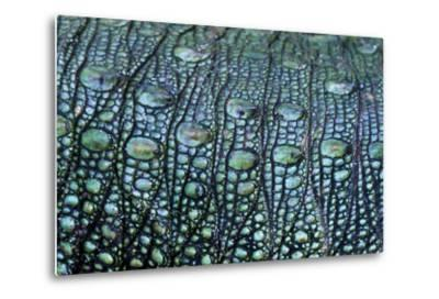 The Prehistoric Green Scales on the Flank of a Northern Caiman Lizard-Jason Edwards-Metal Print