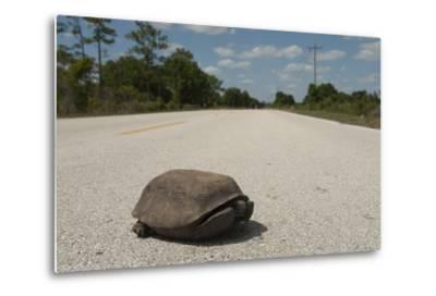 A Gopher Tortoise Near Kissimmee Prairie Preserve State Park-Joel Sartore-Metal Print