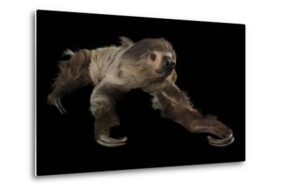 A Two-Toed Sloth, Choloepus Didactylus, at the Lincoln Children's Zoo-Joel Sartore-Metal Print