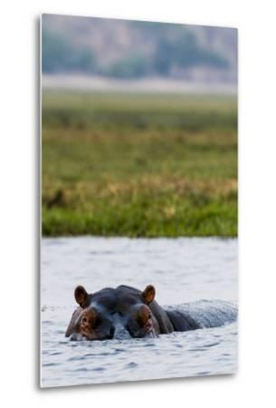 An Alert and Aggressive Nile Hippopotamus Surfaces When a Boat Approaches Too Closely-Jason Edwards-Metal Print