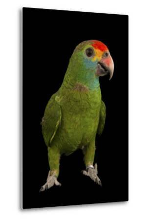 An Endangered Red-Browed Amazon Parrot at the Rare Species Conservatory Foundation-Joel Sartore-Metal Print