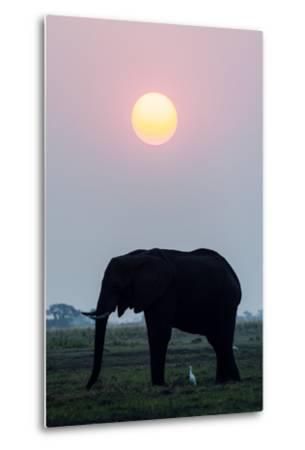 An Egret Stands Underneath an African Elephant Feeding on a Grass Island at Sunset-Jason Edwards-Metal Print
