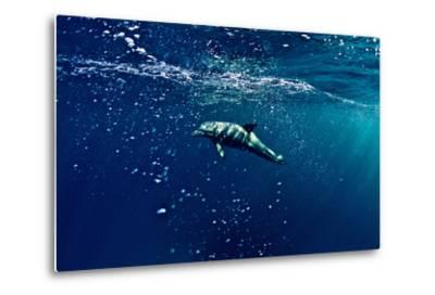 An Atlantic White-Sided Dolphin Swimming Through Clear Blue Water Filled with Bubbles-Heather Perry-Metal Print