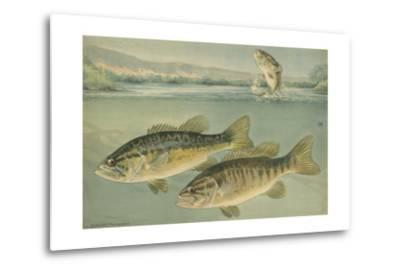 A Painting of Largemouth Bass (Upper) and Smallmouth Black Bass-Hashime Murayama-Metal Print