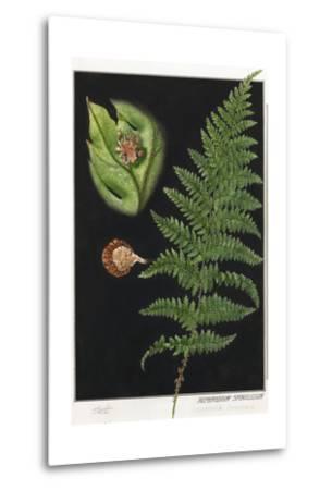 Painting of a Intermediate Woodfern, Dryopteris Intermedia-E.J. Geske-Metal Print
