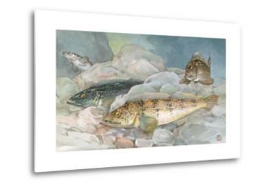 Ling Codfish Change Color to Fit its Surroundings-Hashime Murayama-Metal Print