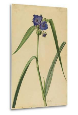 This Plant Is a Member of the Spiderwort Family-Mary E. Eaton-Metal Print