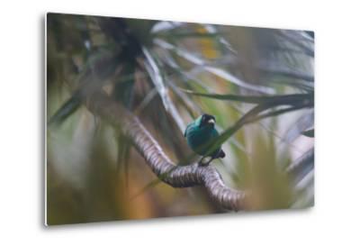 A Male Green Honeycreeper, Chlorophanes Spiza, Perching in a Tree in Ubatuba-Alex Saberi-Metal Print