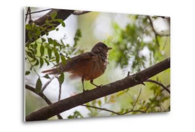 A Rufous Hornero Bird, Furnarius Rufus, Sits in a Tree at Sunset in Ibirapuera Park-Alex Saberi-Metal Print