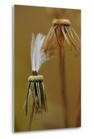 Close Up of the Spent Seed Pods of a Prickly Lettuce Plant-Michael Forsberg-Metal Print