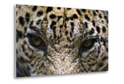 The Menacing Stare of a Jaguar, the Top Predator of the Amazon Rainforest-Jason Edwards-Metal Print