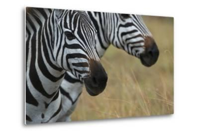 Close Up of the Faces of Two Zebras, Equus Species-Bob Smith-Metal Print