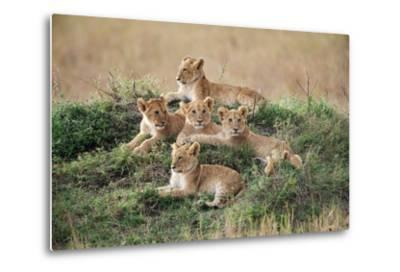 A Pride of Lion Cubs, Panthera Leo, Resting on a Hill Top-Bob Smith-Metal Print