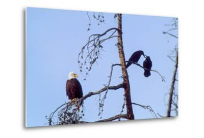 A Bald Eagle Watches Two Ravens in Disgust-Tom Murphy-Metal Print