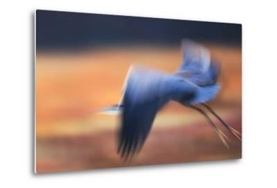 A Great Blue Heron, Ardea Herodias, Taking Flight at Sunset-Robbie George-Metal Print