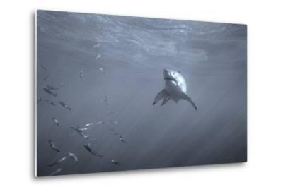Portrait of a Great White Shark, Carcharodon Carcharias, Swimming Near Bait Fish-Jeff Wildermuth-Metal Print