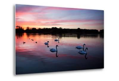 Mute Swans, Cygnus Olor, Swim on Pen Ponds at Sunset in Richmond Park-Alex Saberi-Metal Print