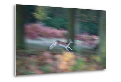A Panned View of a Fallow Deer, Dama Dama, Running and Jumping Among Trees-Alex Saberi-Metal Print