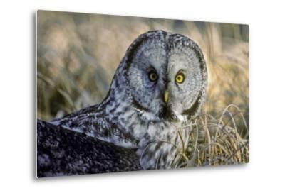 A Great Gray Owl Stares at the Camera-Tom Murphy-Metal Print