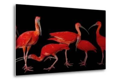 A Flock of Scarlet Ibis, Eudocimus Ruber, at the Caldwell Zoo-Joel Sartore-Metal Print