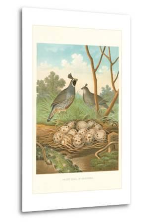 Valley Quail Nest and Eggs--Metal Print