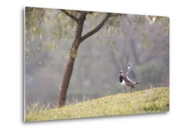 Southern Lapwing, Vanellus Chilensis, Standing by a Tree in Ibirapuera Park-Alex Saberi-Metal Print