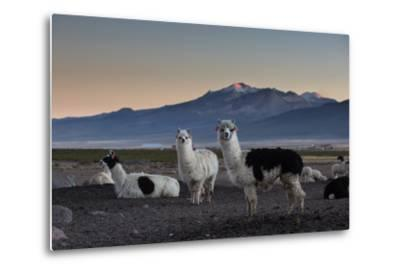 Llama Gathering in the Sajama National Park-Alex Saberi-Metal Print