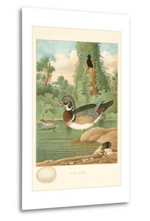 Wood Duck Nest and Eggs--Metal Print