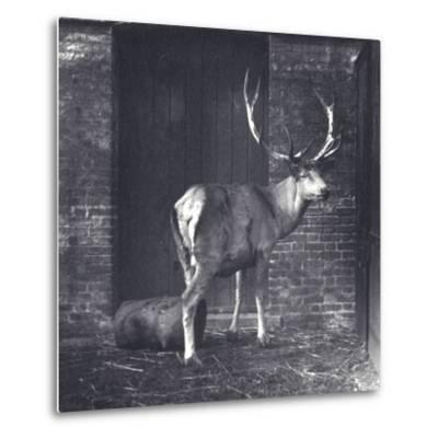 Wallich's Deer-Frederick William Bond-Metal Print