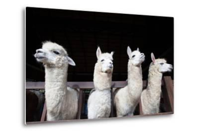 Face of Four Funny Alpacas Llama in Farm-khunaspix-Metal Print