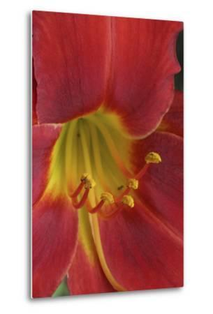 Red Lily Abstract-Anna Miller-Metal Print