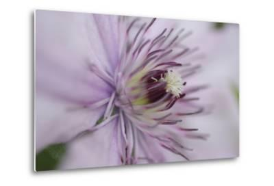 Clematis Flower Detail-Anna Miller-Metal Print