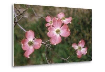 Pink Dogwood Blooms-Anna Miller-Metal Print