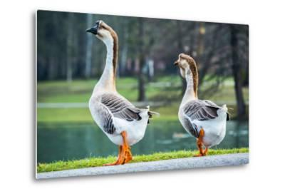 Pair of White Chinese Geese in A Park-zlikovec-Metal Print