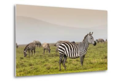 Zebra in National Park. Africa, Kenya-Curioso Travel Photography-Metal Print