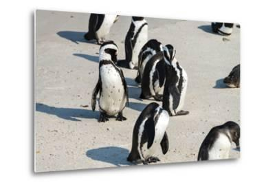 African Penguins at Simonstown (South Africa)-HandmadePictures-Metal Print