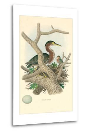 Green Heron Nest and Eggs--Metal Print