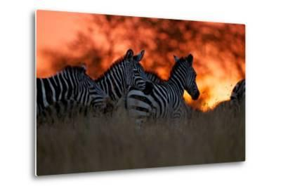 A Herd of Burchell's Zebra Move across the Plains of the Serengeti-Michael Nichols-Metal Print