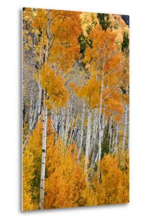 Aspen trees in autumn. Fishlake National Forest, Utah, USA-Scott T^ Smith-Metal Print