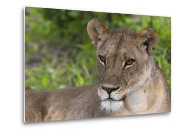 Close Up Portrait of a Lioness, Panthera Leo, Resting-Sergio Pitamitz-Metal Print