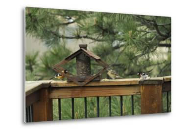 Baltimore Orioles and a Rose-Breasted Grosbeak at a Birdfeeder-Michael Forsberg-Metal Print