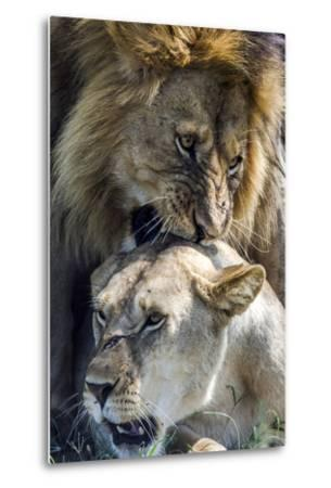 A Male African Lion Bites the Back of the Neck of a Lioness with His Canine Teeth During Mating-Jason Edwards-Metal Print