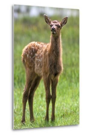 A Curious Elk Calf Chewed its Cud, and Shoos the Flies Away by Wiggling its Ears-Tom Murphy-Metal Print
