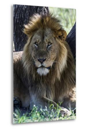 A Male African Lion Resting in the Shade of a Tree During the Midday Heat-Jason Edwards-Metal Print